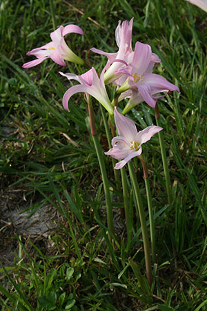 rain_lilies